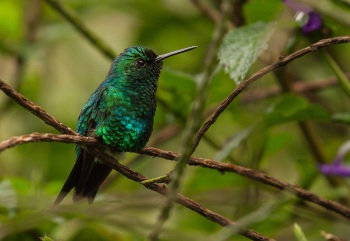 Western Emerald by Jose Castano