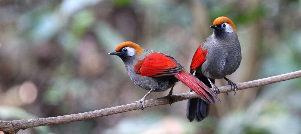 Red-tailed Laughingthrush by Tang Jun