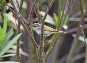Eastern crowned Warbler, Rudong 2015 by Nick Bray