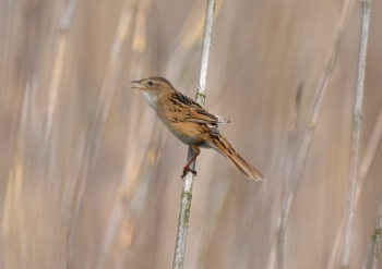 Marsh Grassbird by Nick Bray