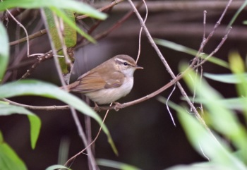 Pale-legged Leaf-Warbler, magic Wood by Nick Bray