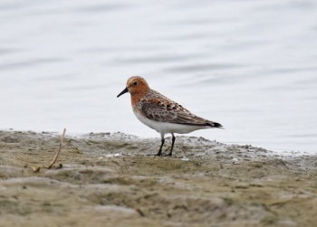 Red-necked Stint at Yangkou, 2015 by Nick Bray