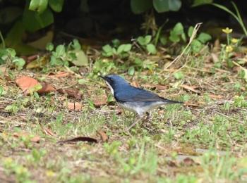 Siberian Blue Robin, Nanhui 2015 by Nick Bray