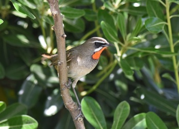 Siberian Rubythroat, Magic Wood 2015 by Nick Bray