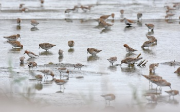 Even More Shorebirds at Yangkou, 2015 by Nick Bray