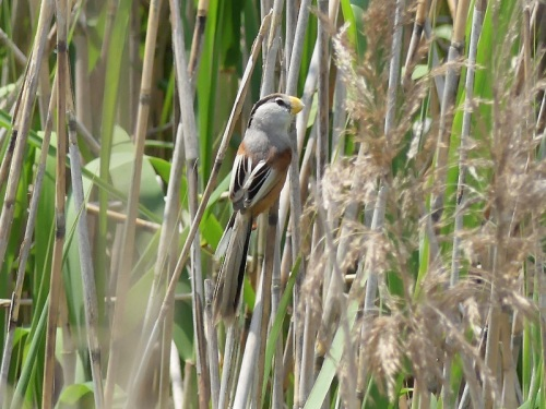 Reed Parrotbill by Nick Upton