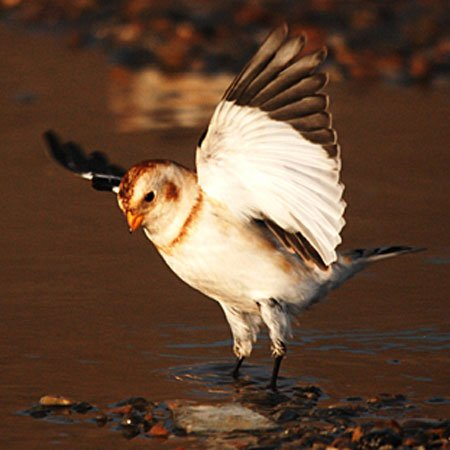Snow Bunting - by Julie Lockyear
