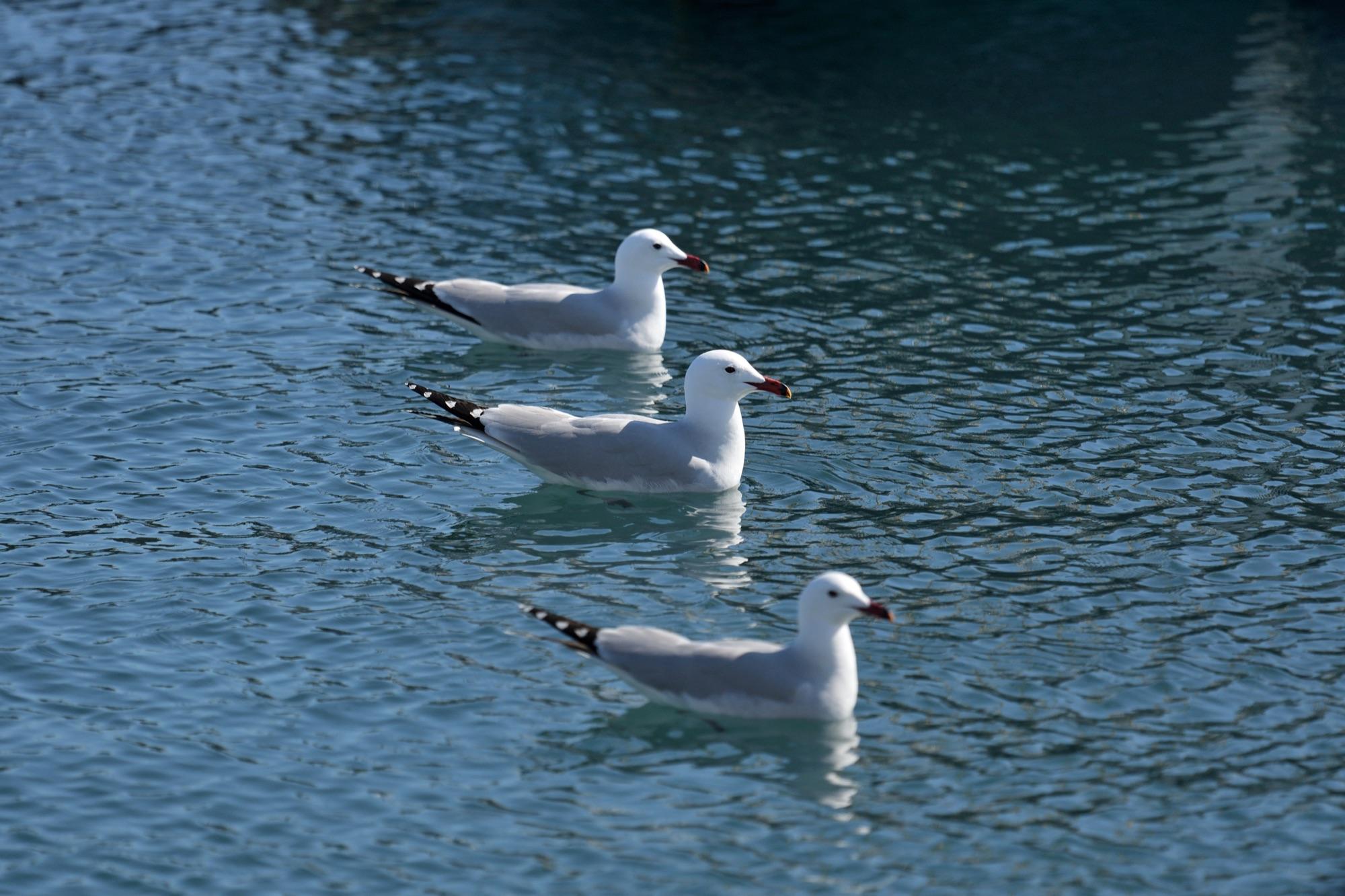 Audouin's Gulls, Ibiza