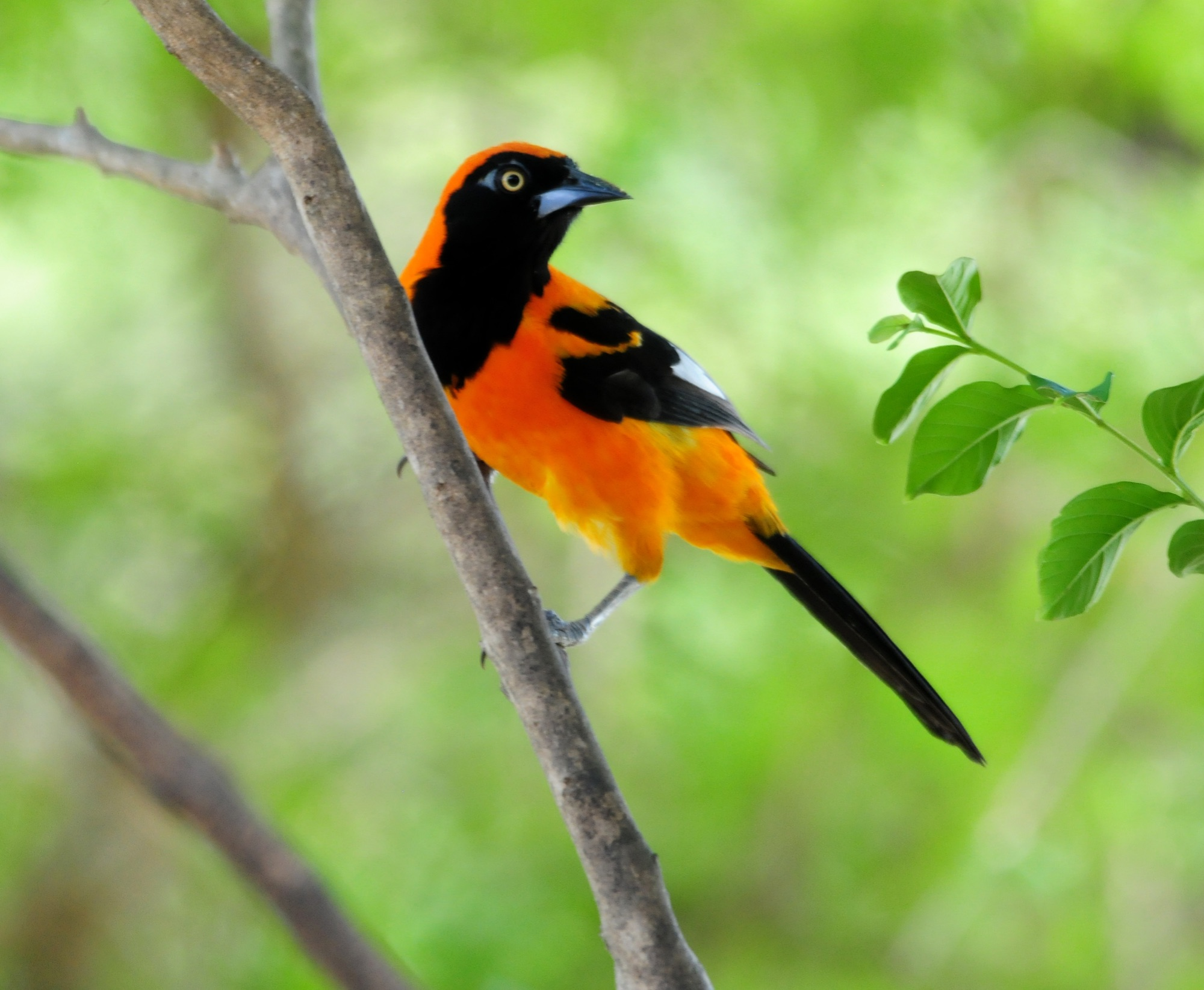 Orange-backed Troupial