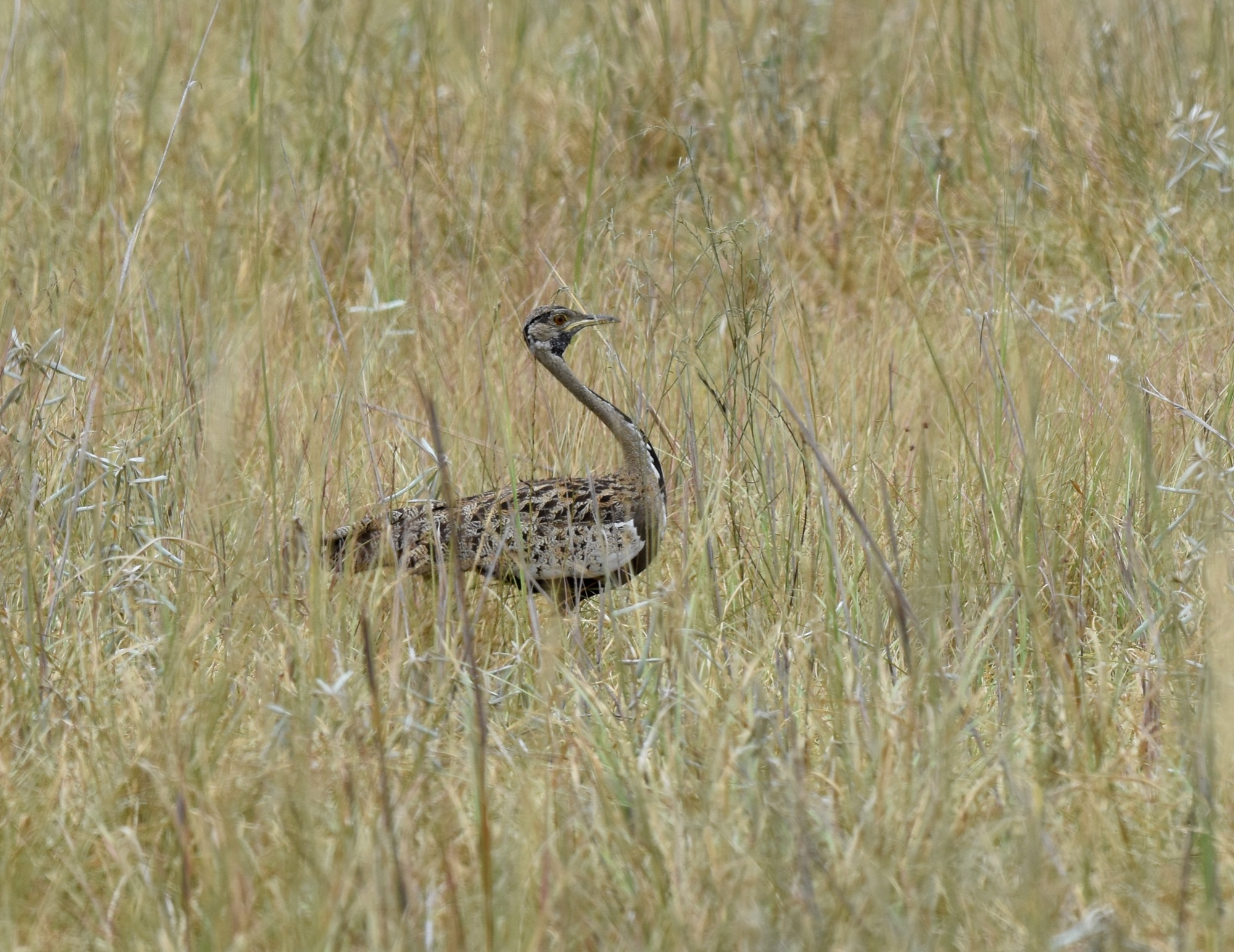 Black-bellied Bustard by Nick Bray