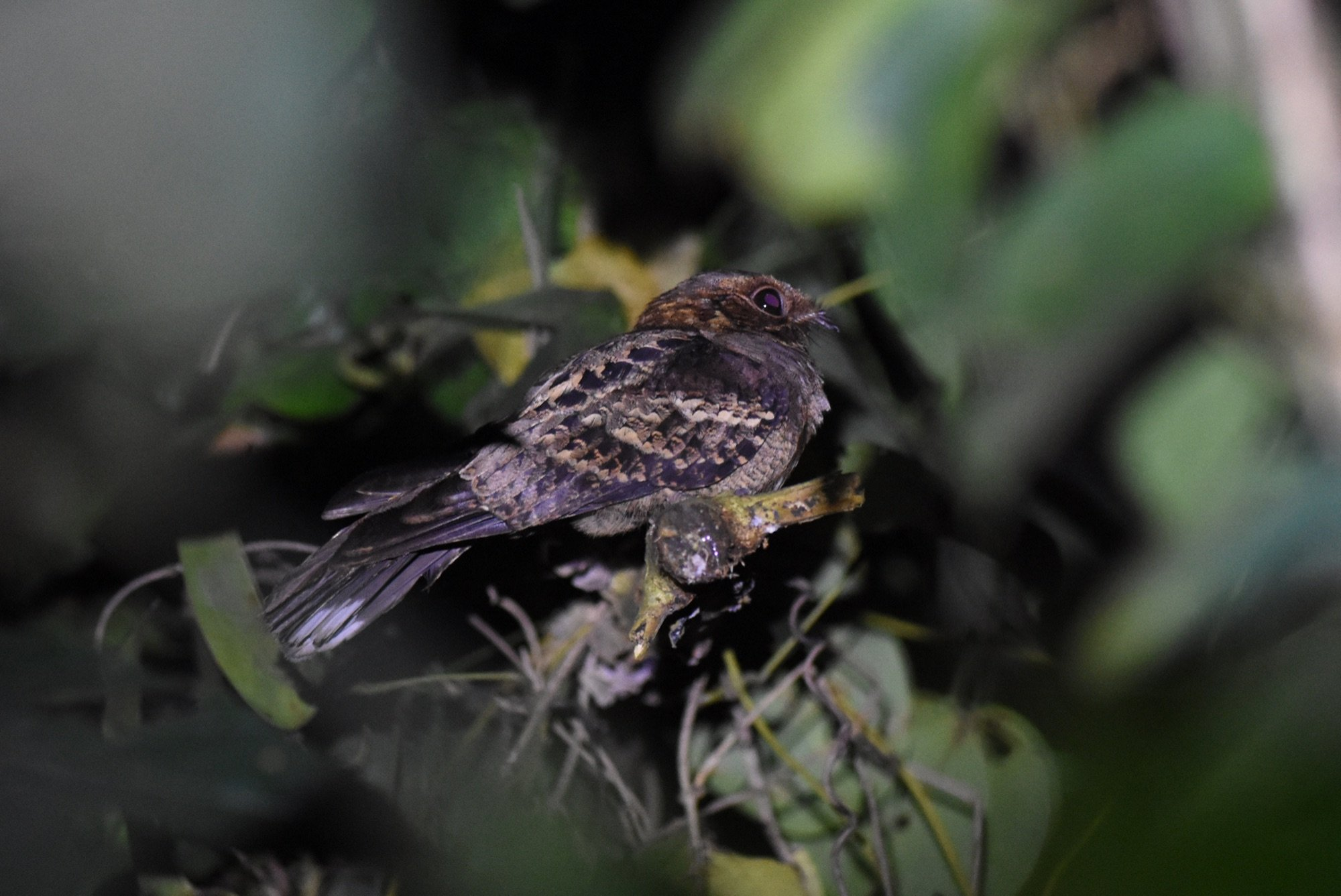 Black-shouldered Nightjar by Nick Bray