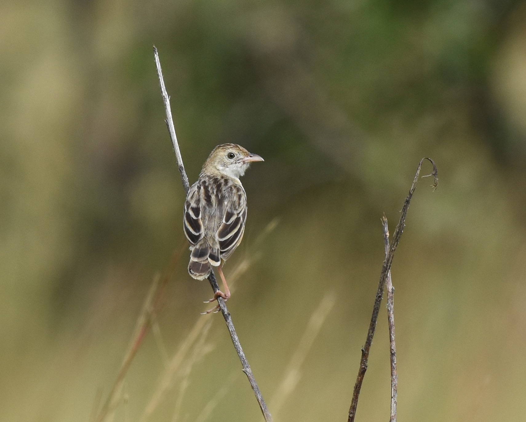 Croaking Cisticola by Nick Bray