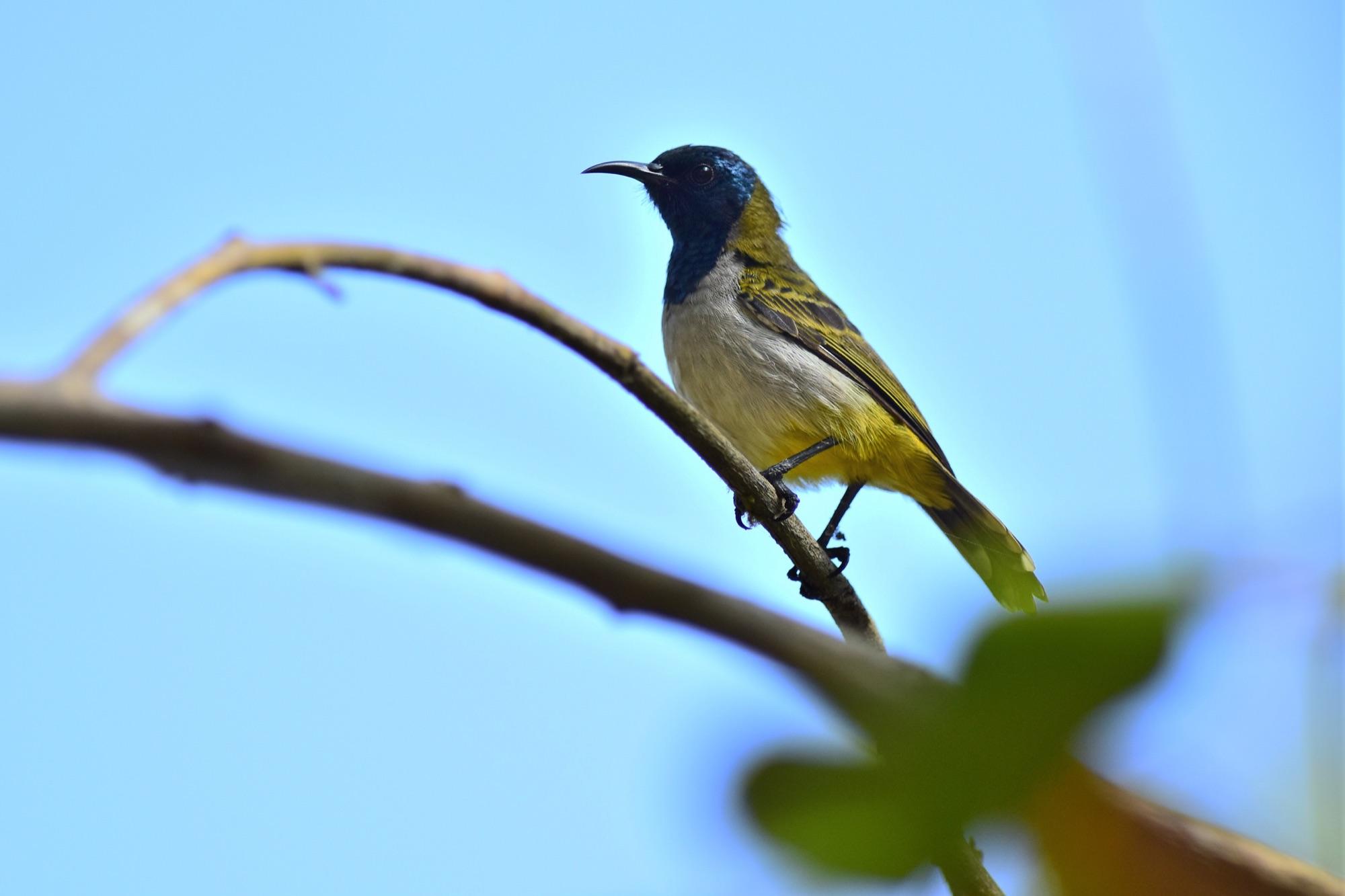 Reichenow's Sunbird, Ghana by Nick Bray