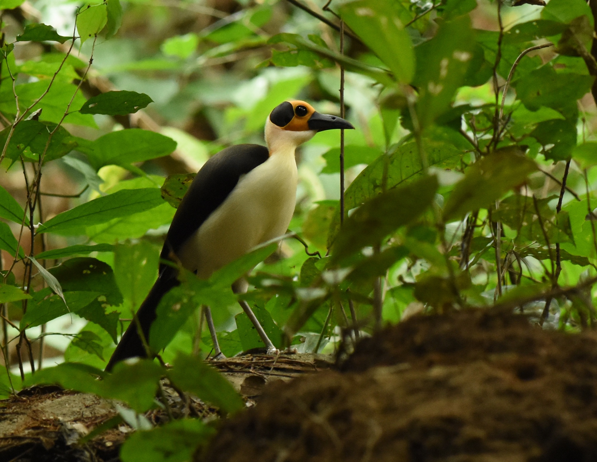 Yellow-headed Picathartes by Nick Bray