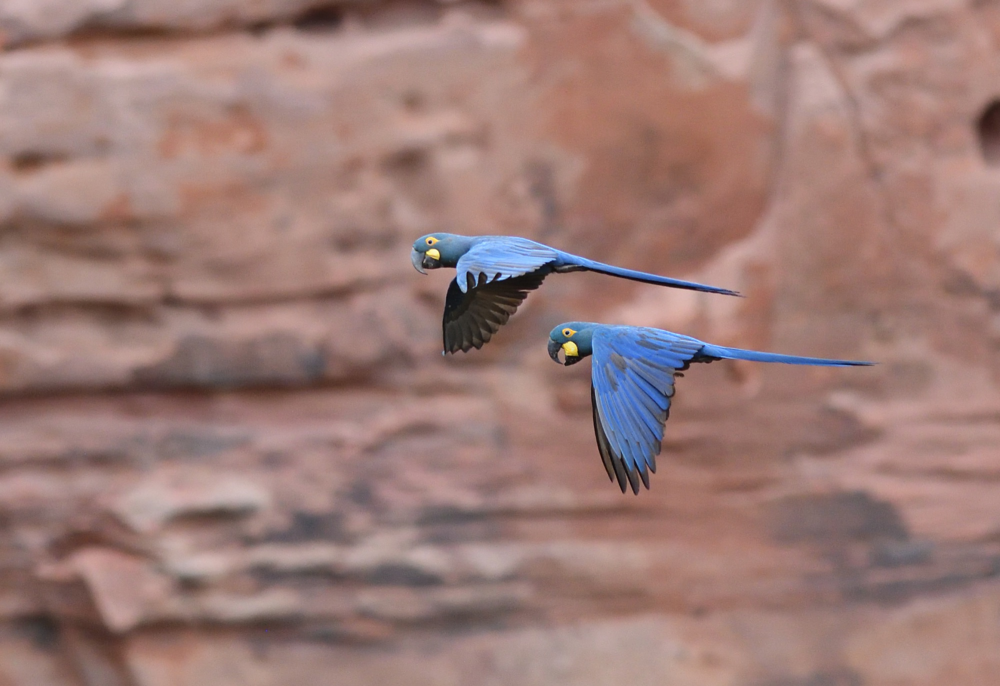 Lear's Macaw - NE Brazil 2019 by Nick Bray