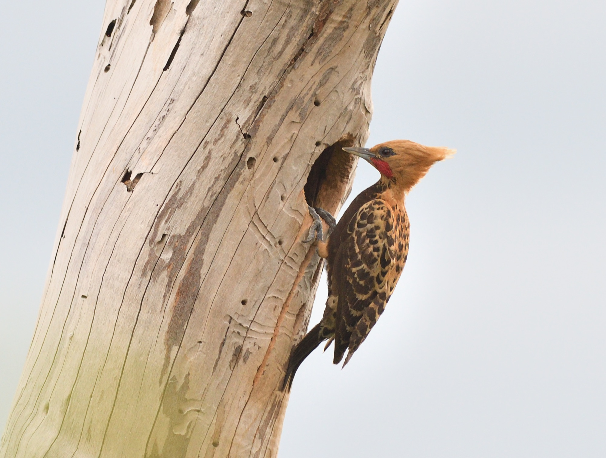 Ochre-backed Woodpecker 2 - Serra de Araripe, NE Brazil 2019_00034