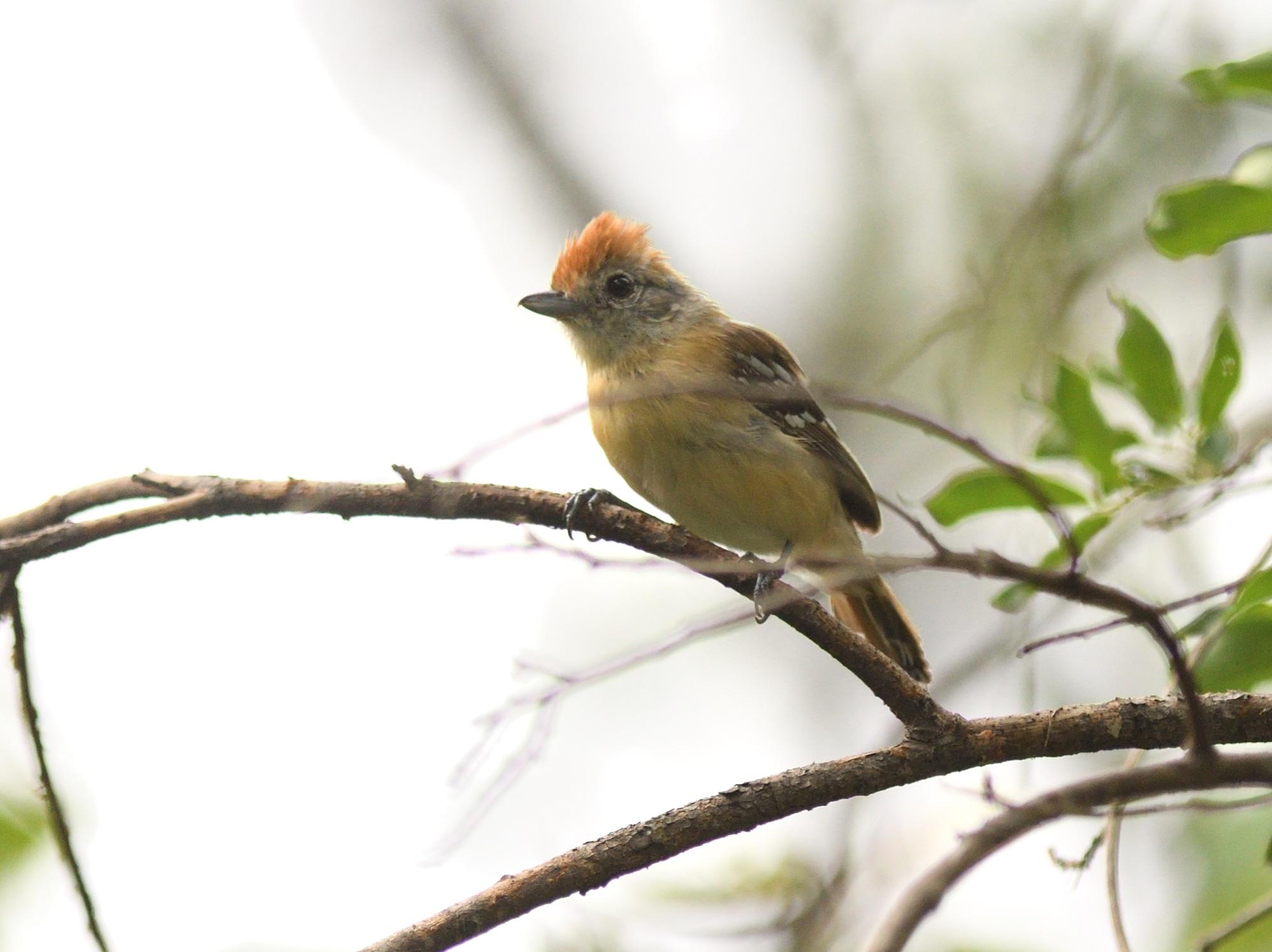 Planalto Slaty Antshrike (female) - Serra de Araripe, NE Brazil 2019_00047