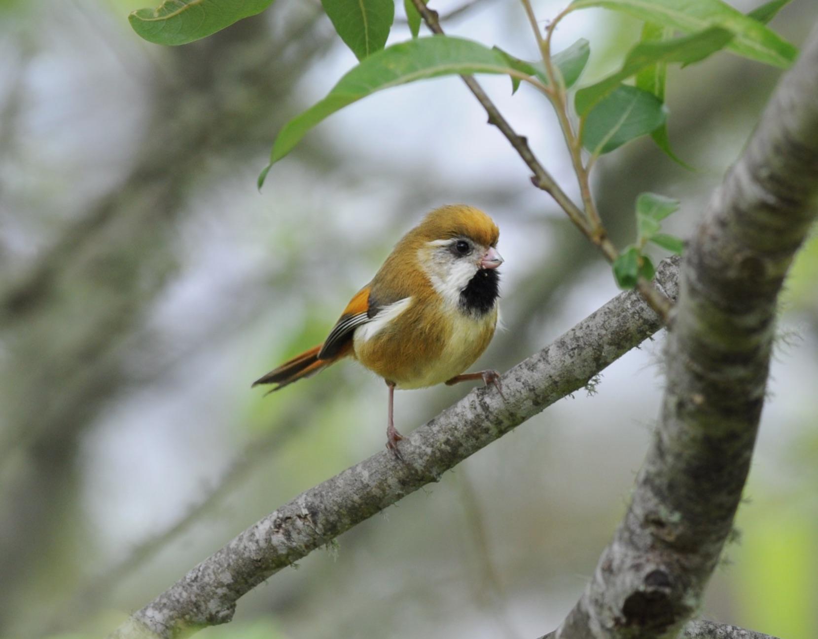 Golden Parrotbill, Taiwan