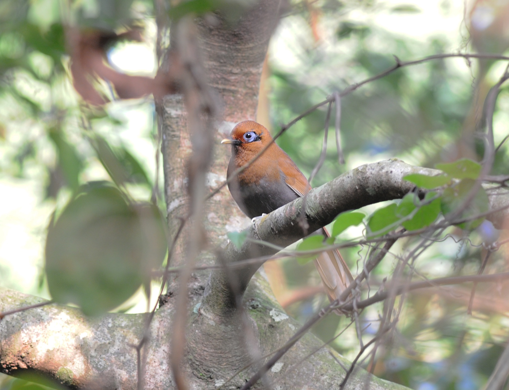 Rusty Laughingthrush