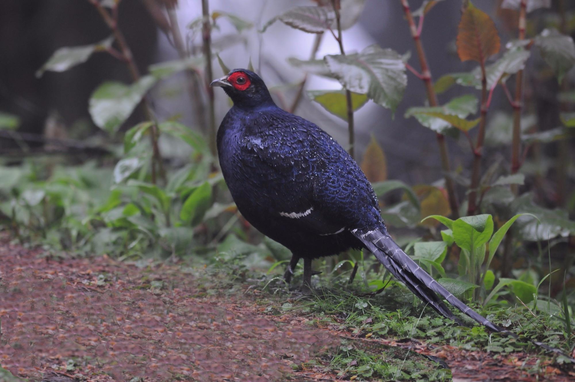 Mikado Pheasant, Taiwan
