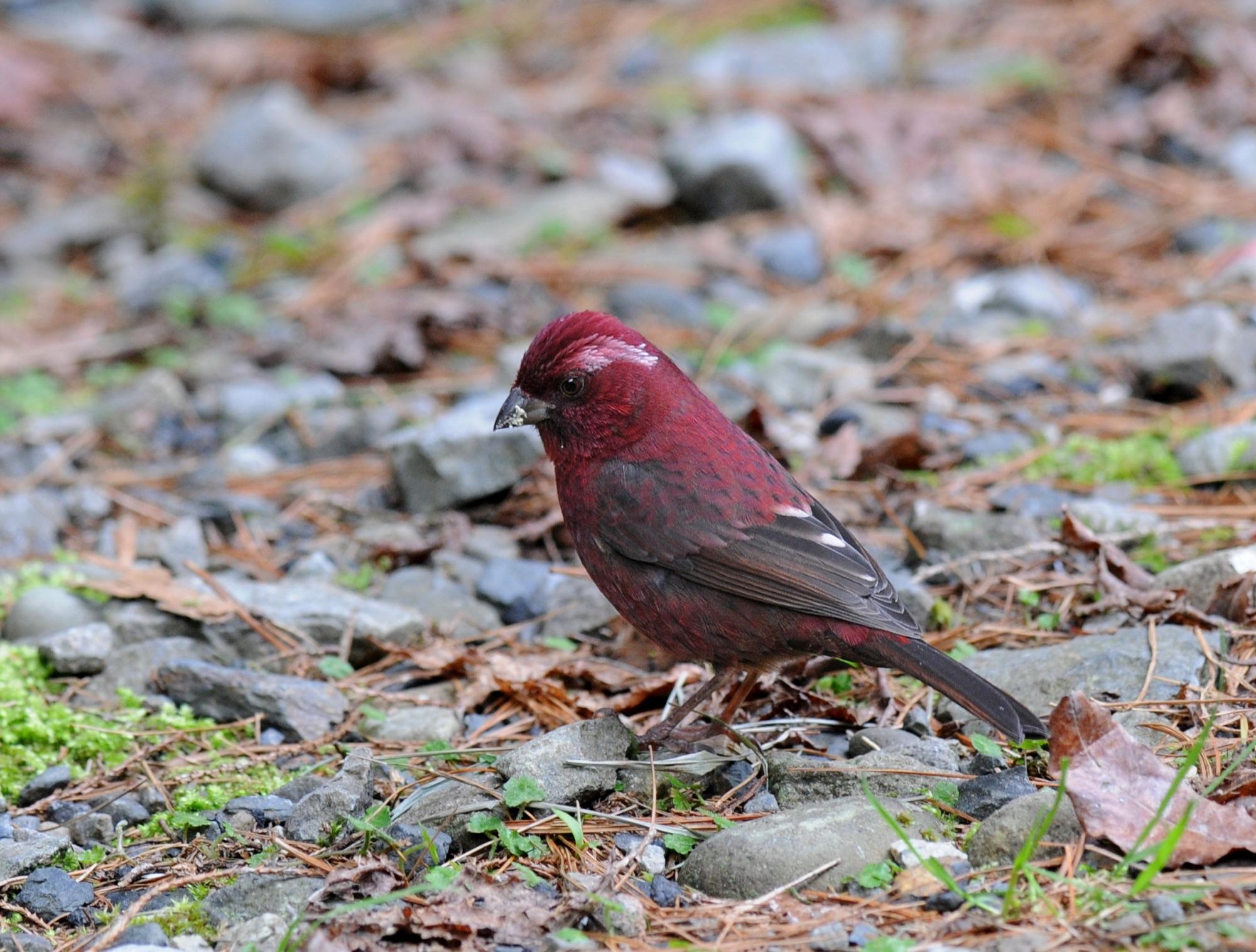 Taiwan Rosefinch