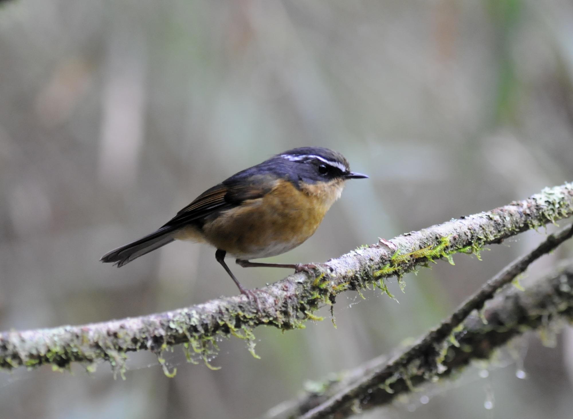 Taiwan Bush-Robin