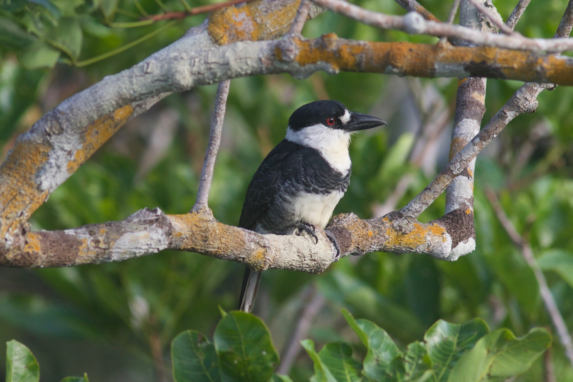 Guianan Puffbird
