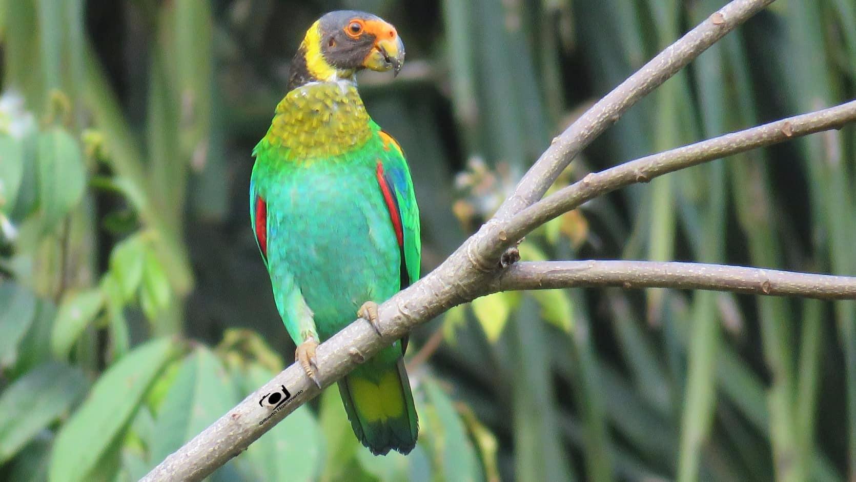 Vulturiine Parrot