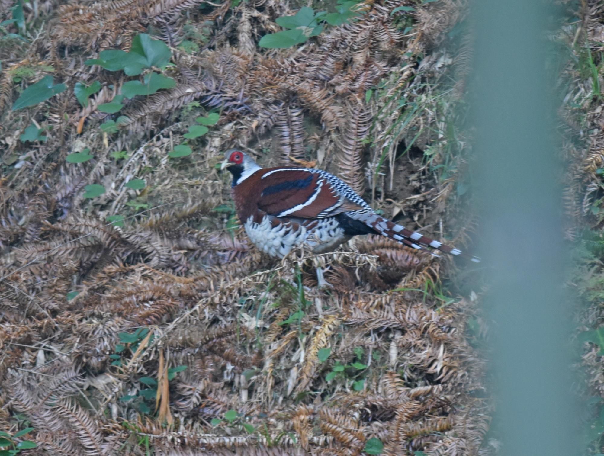 elliott's pheasant