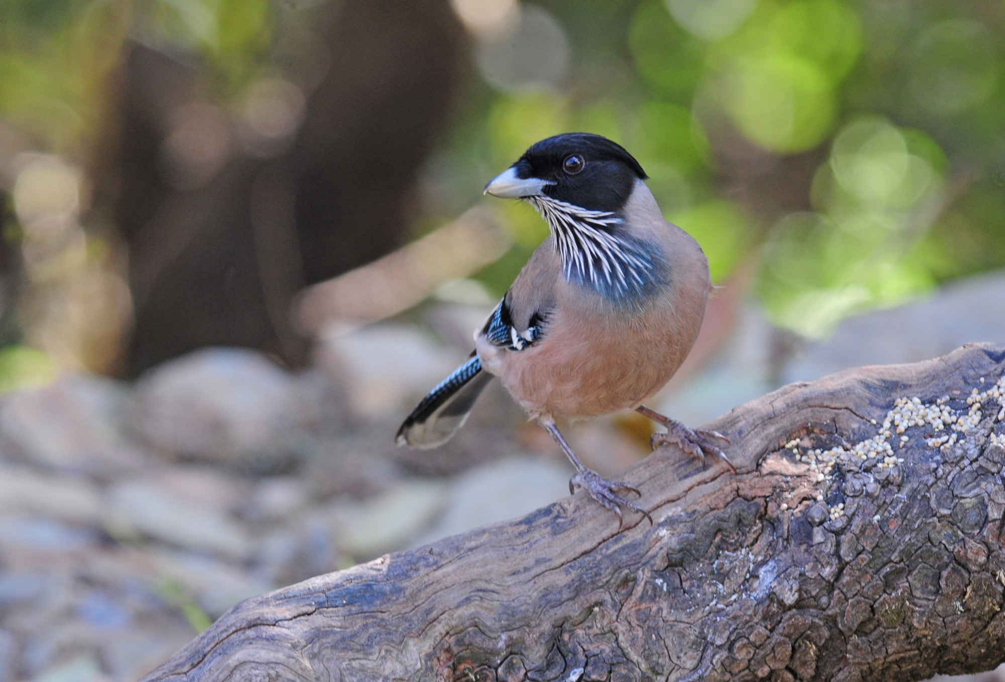 Black-headed Jay