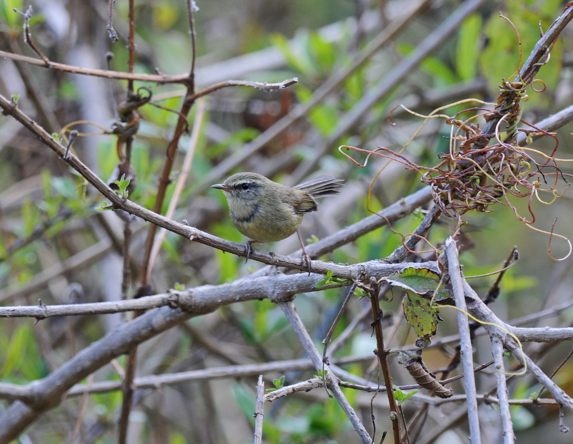 Aberrant Bush-Warbler