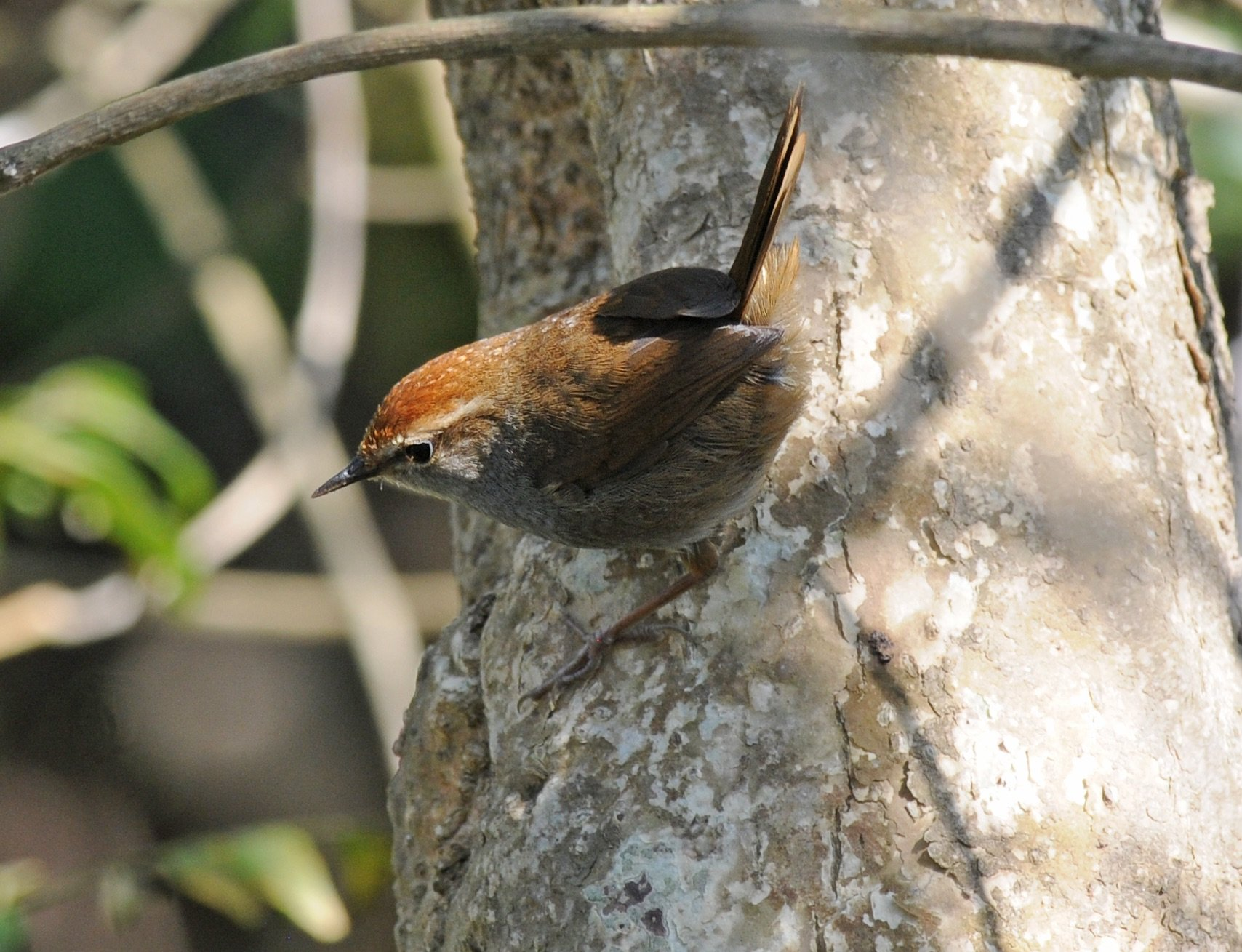 Grey-sided Bush-Warbler
