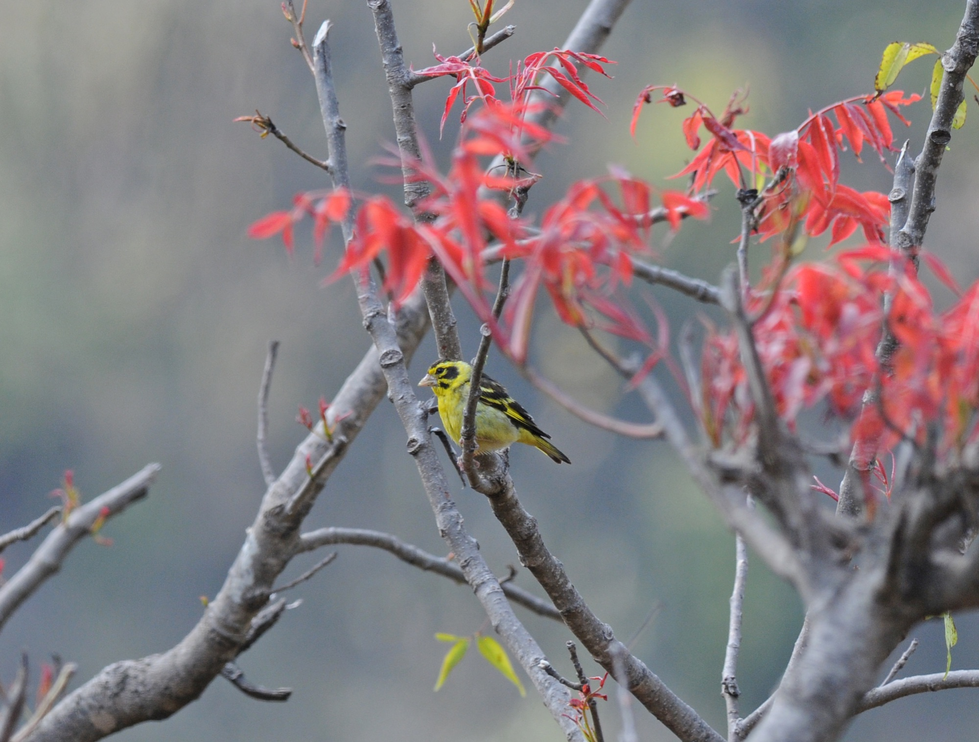 Himalayan Greenfinch