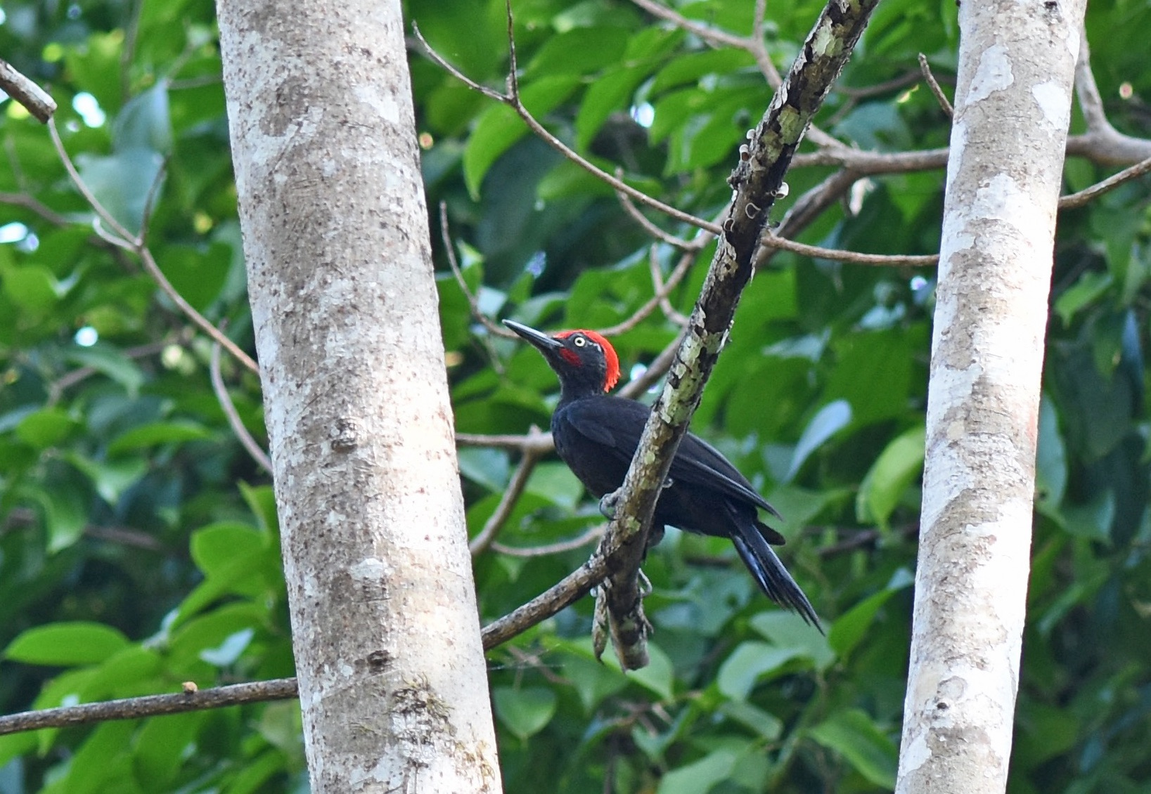 Andaman Woodpecker