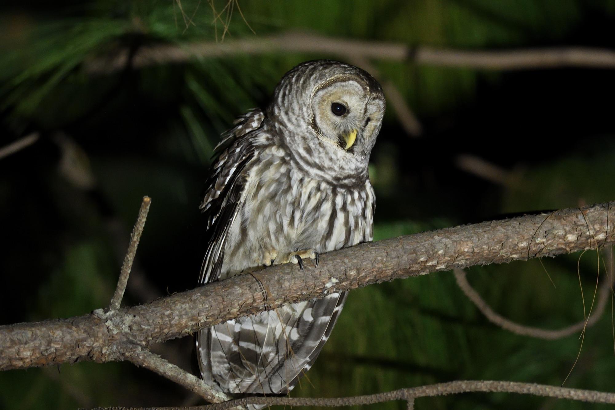 cinereous owl