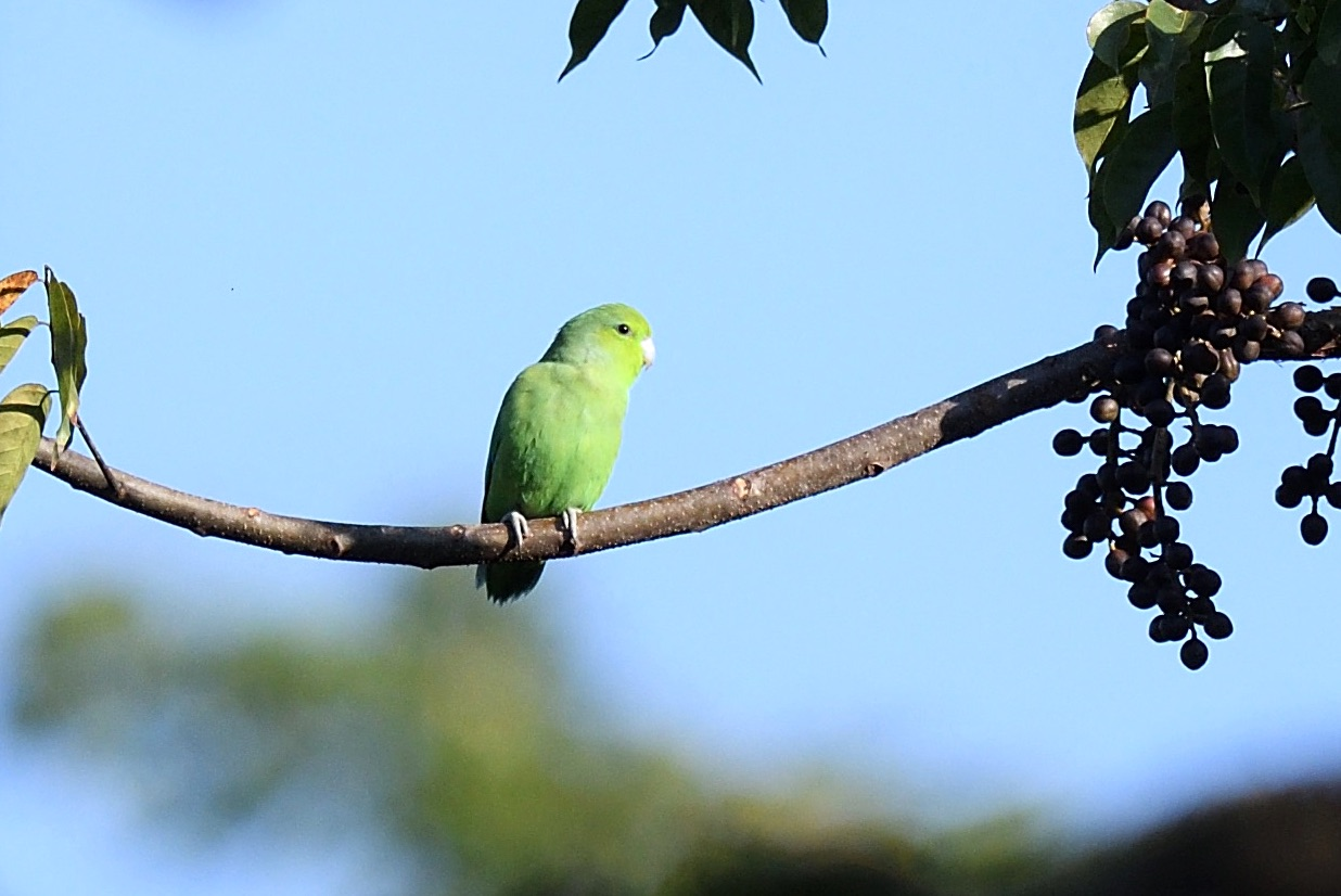 mexican parrotlet