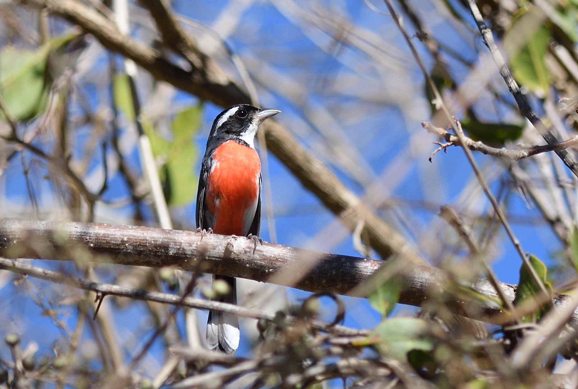 Red-breasted Chat