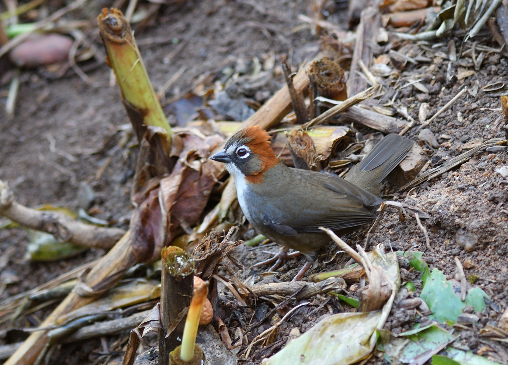 rusty-crowned Ground Sparrow