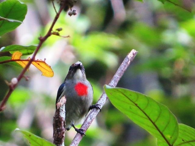 Papuan Flowerpecker