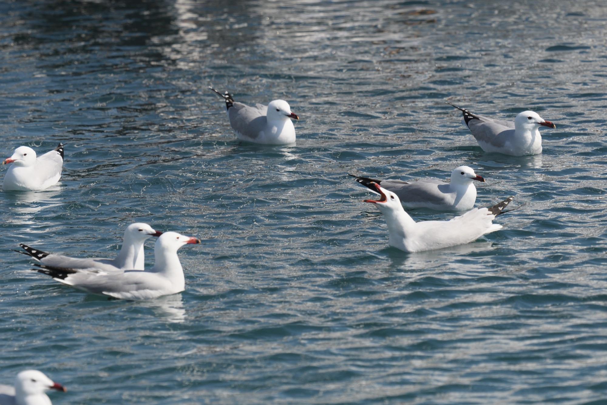 Audouin's Gulls