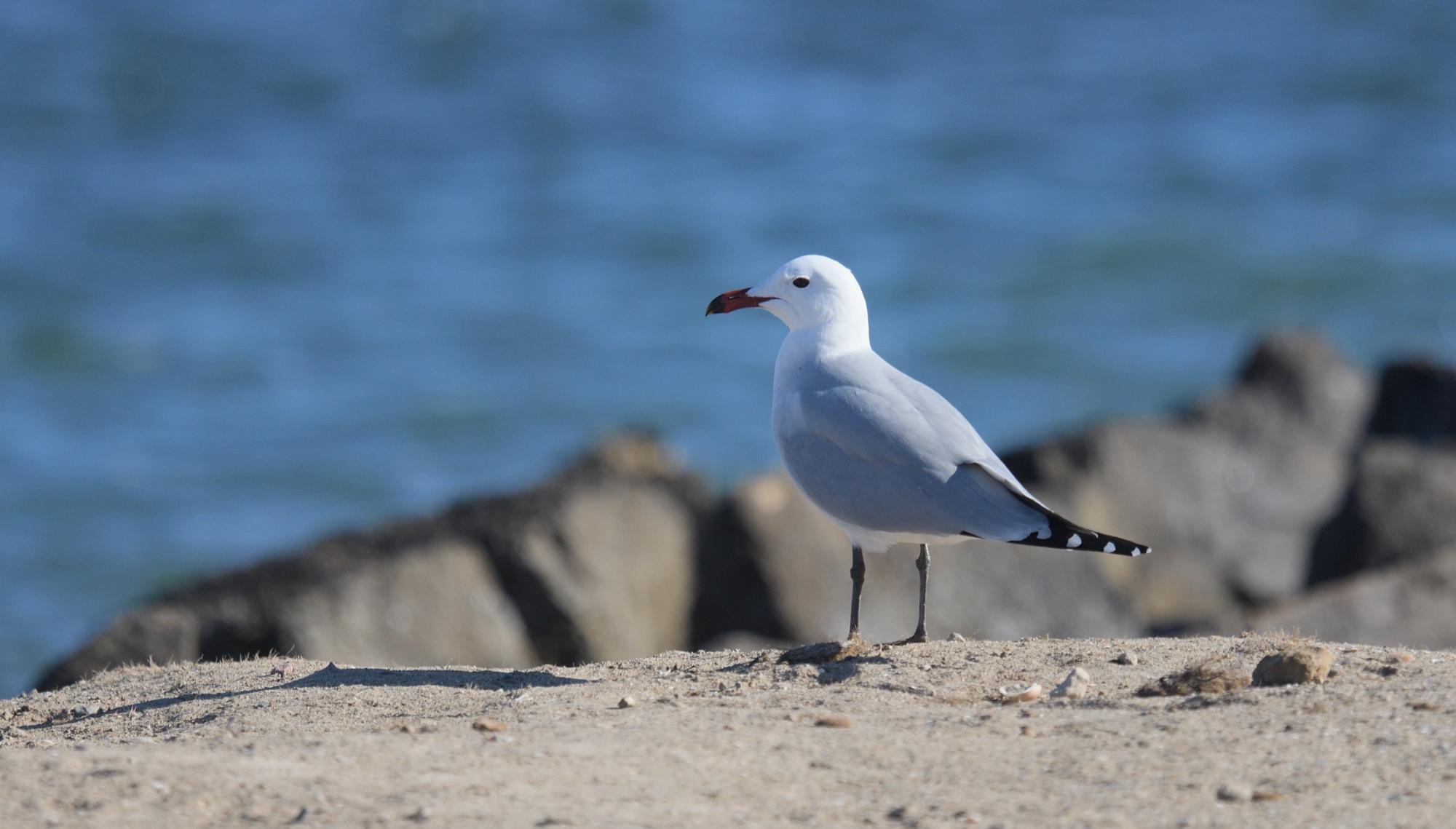 Audouin's Gull copyright Nick Bray