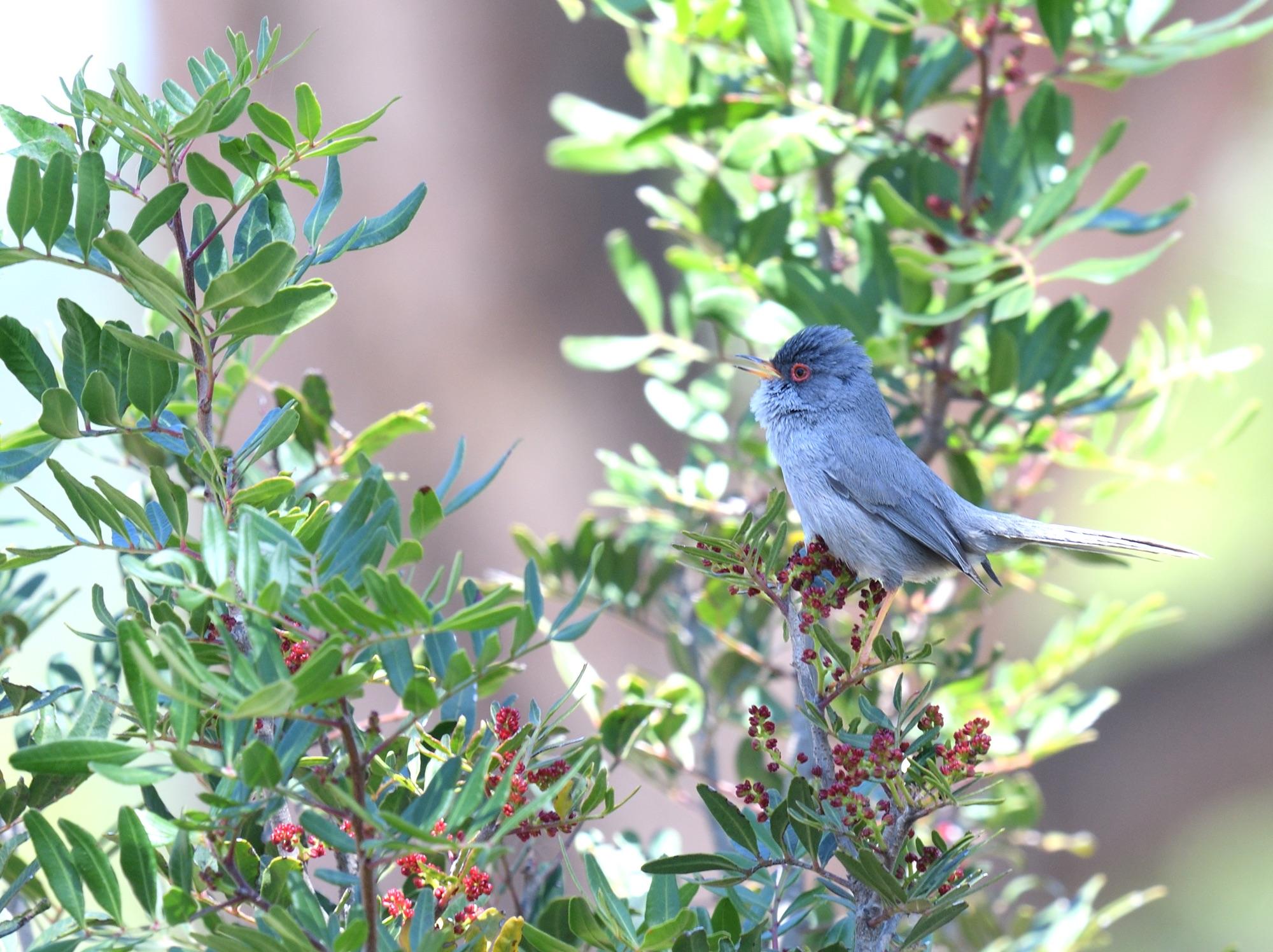 Balearic Warbler