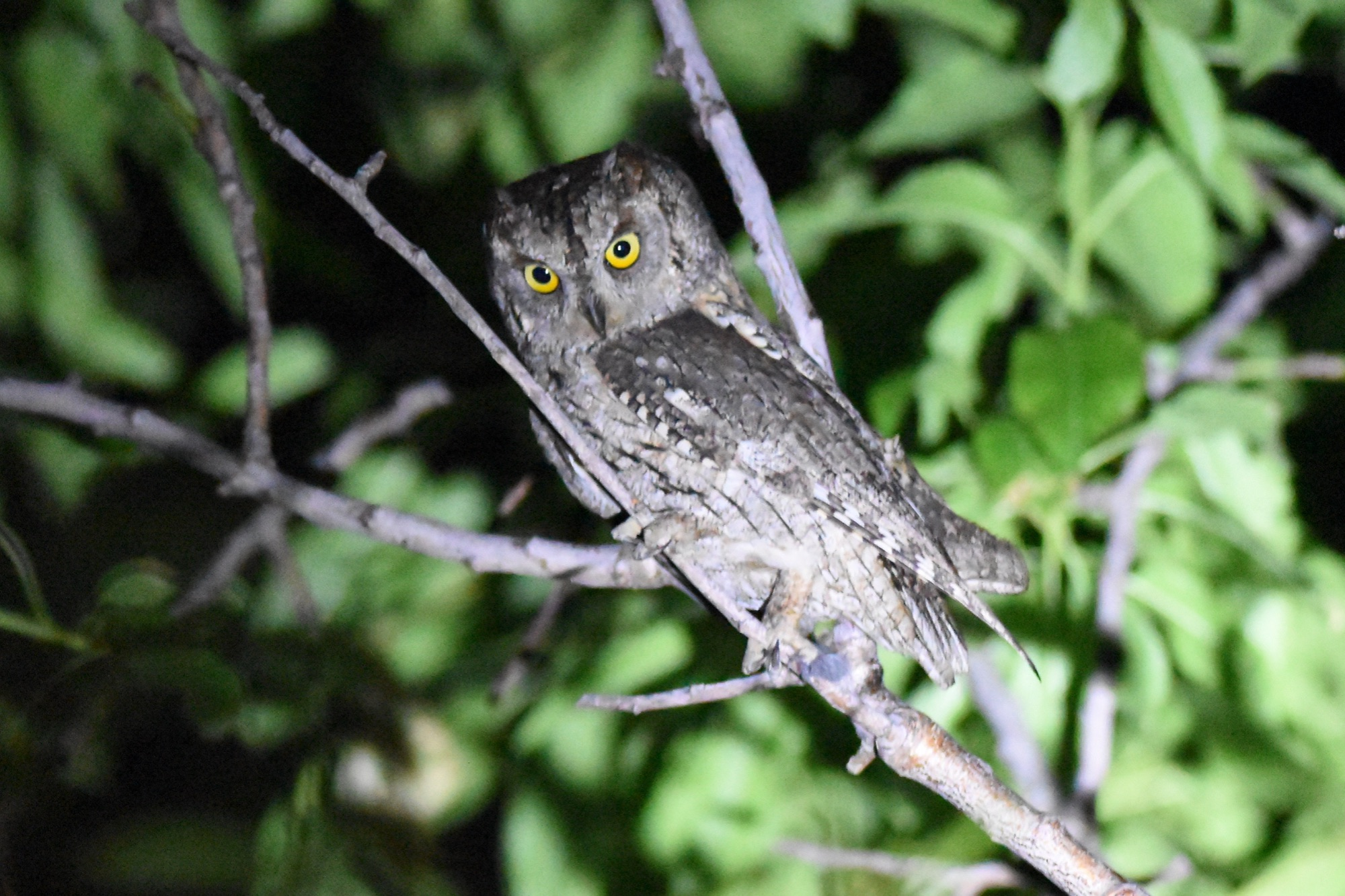 European Scops Owl