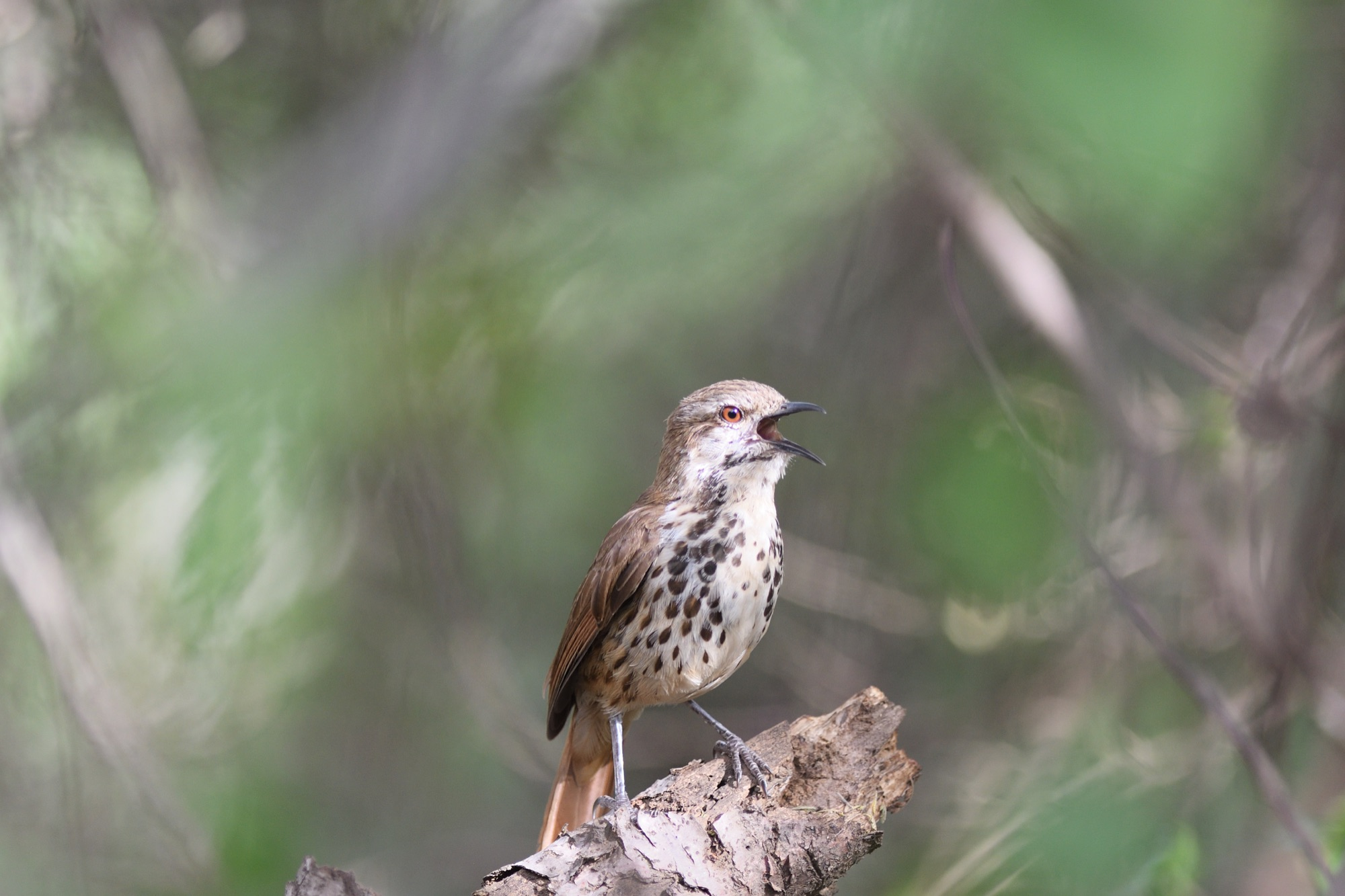 Spotted Mourning-Thrush