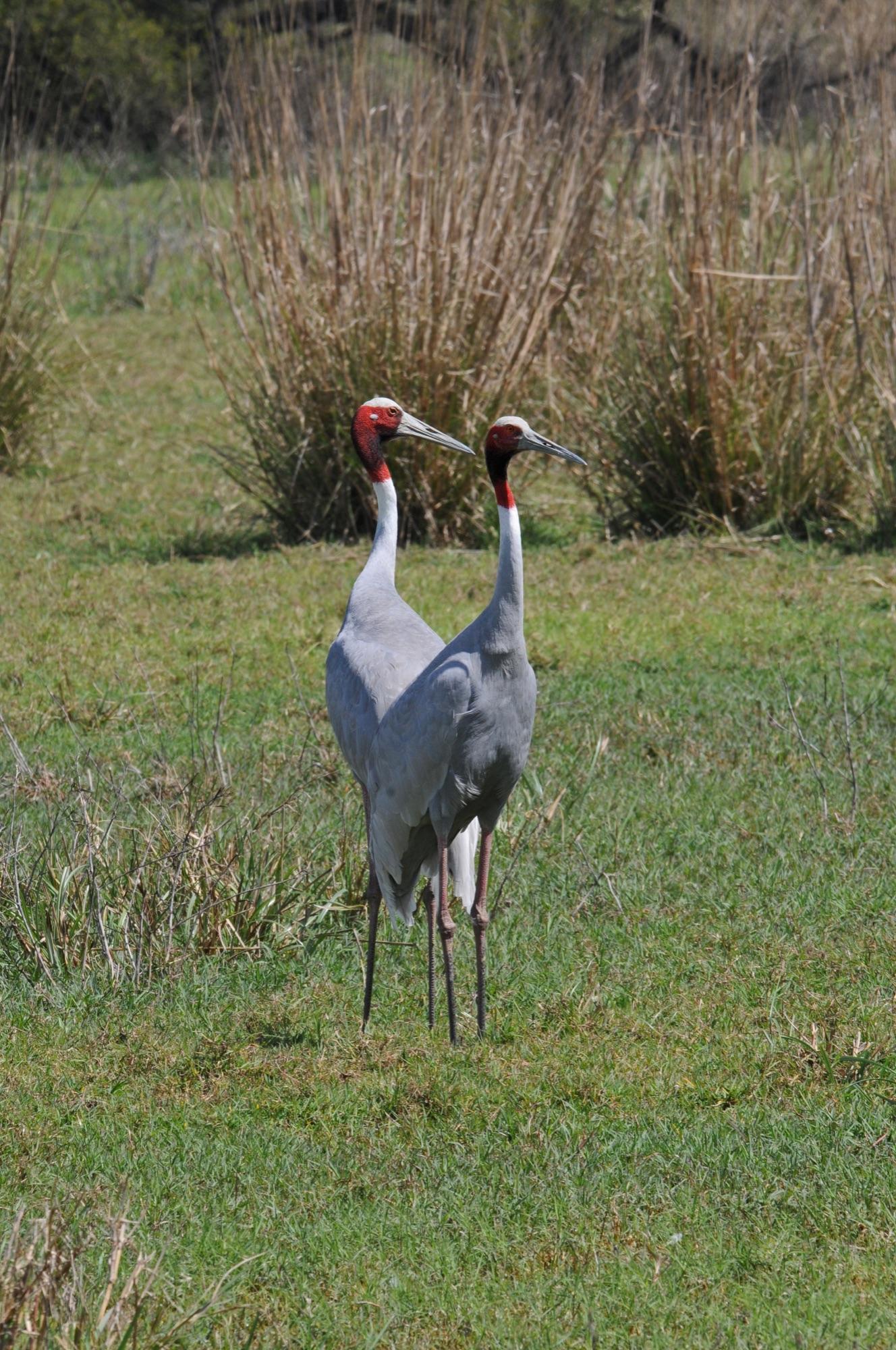Sars Cranes