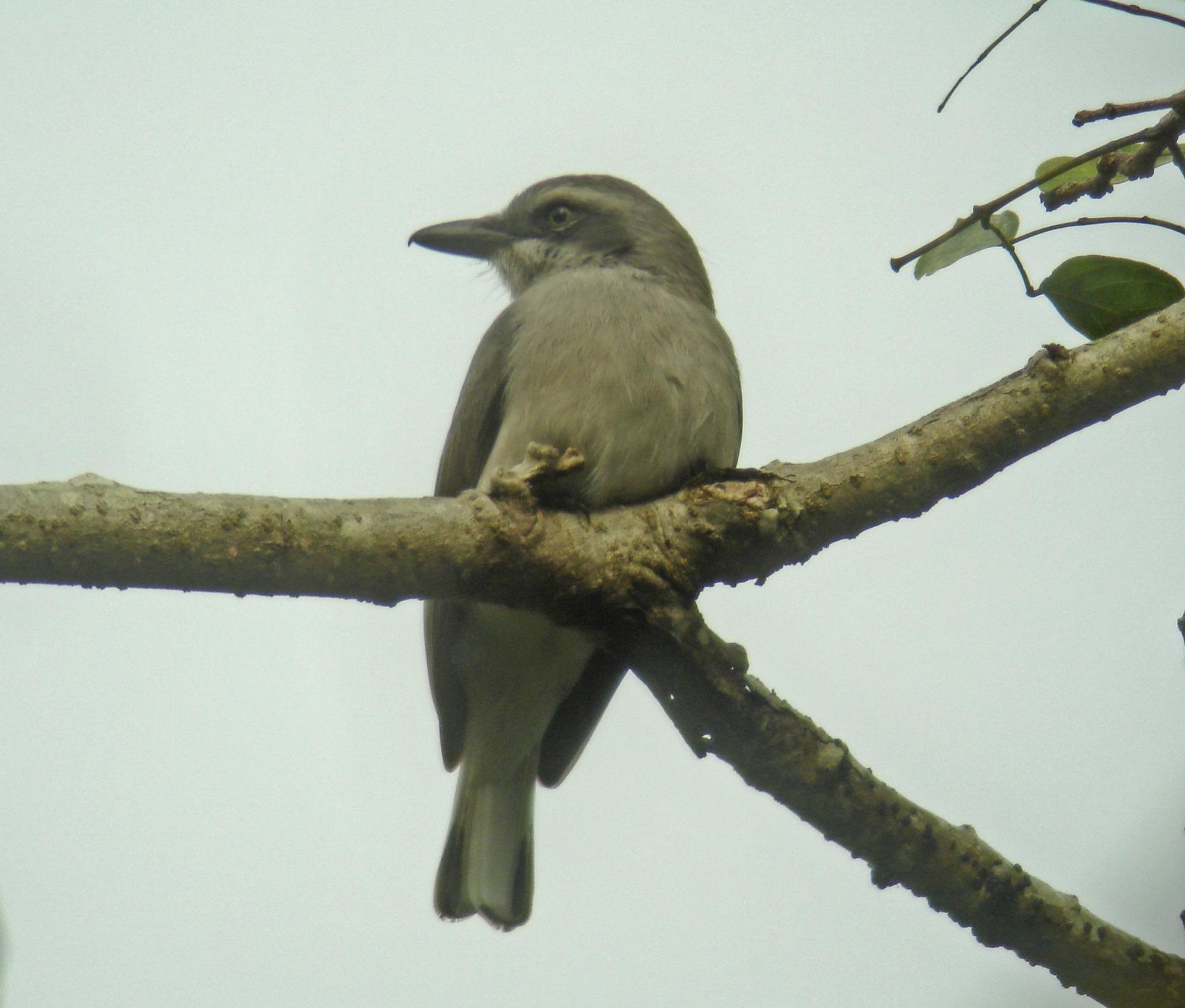 Ceylon Woodshrike
