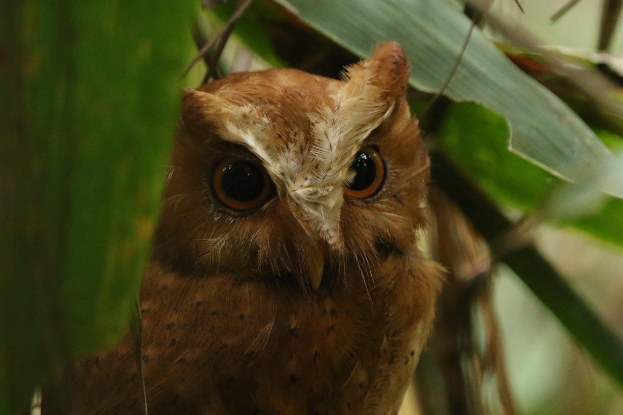 Serendib Scops-Owl