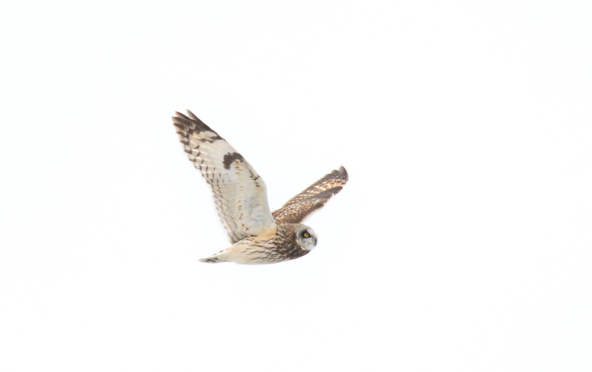 Short-eared Owl - Barrow, Alaska 2018_00005