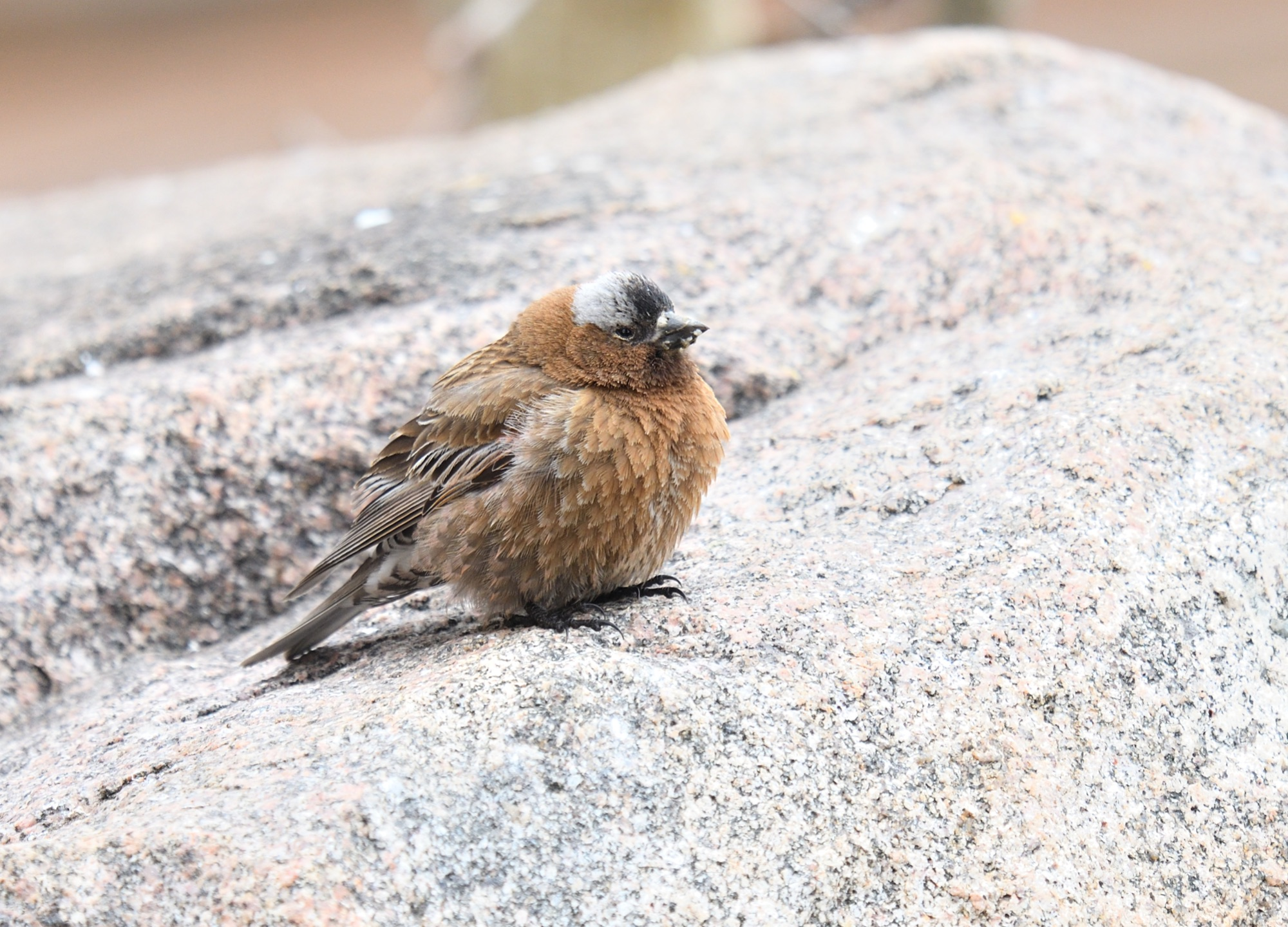 grey-crowned rosy-finch