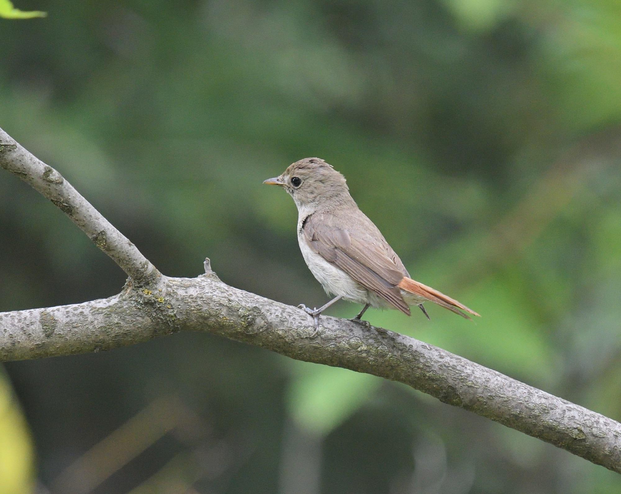 Rusty-tailed Flycatcher